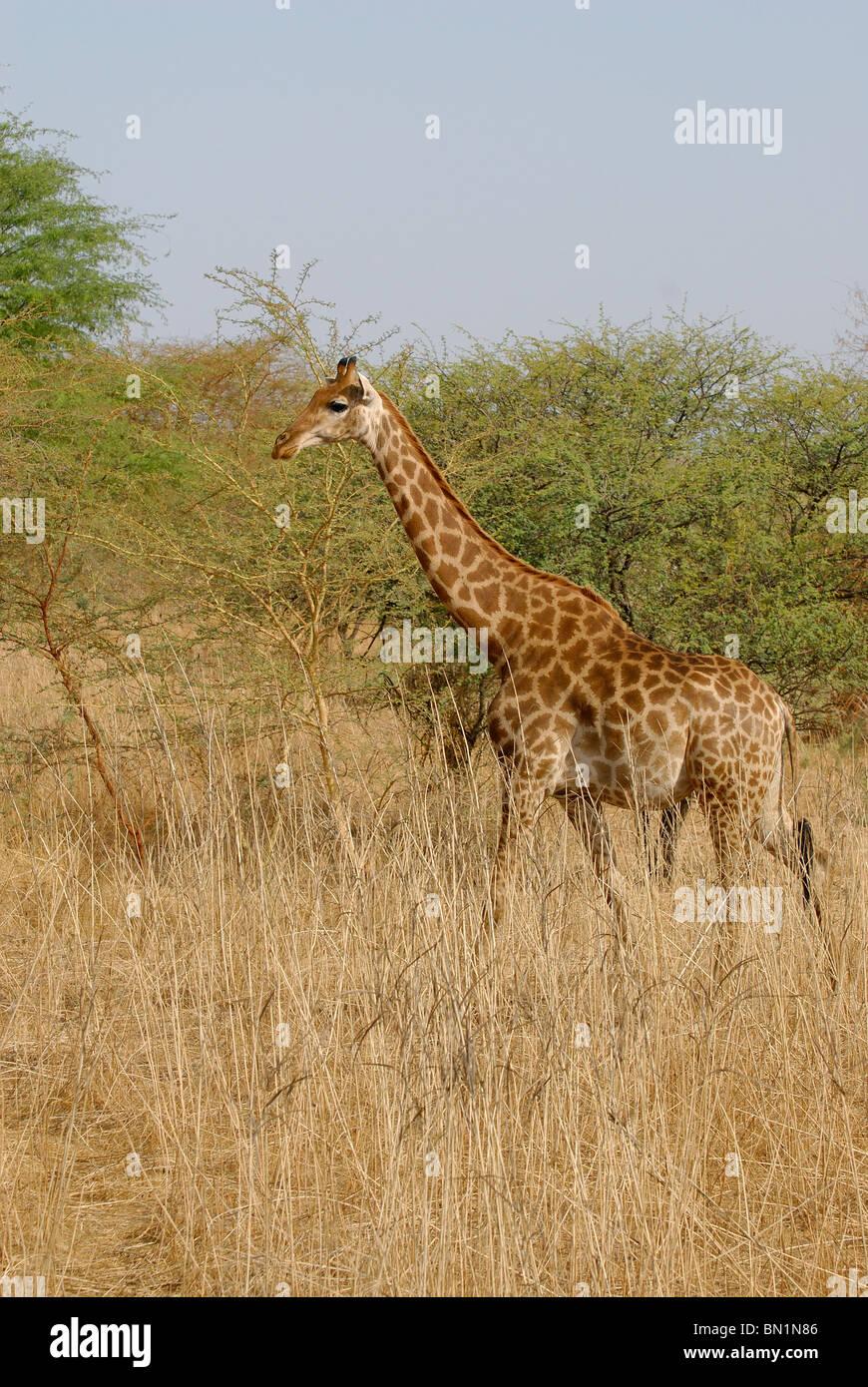 Giraffa camelopardalis, Giraffe - Stock Image