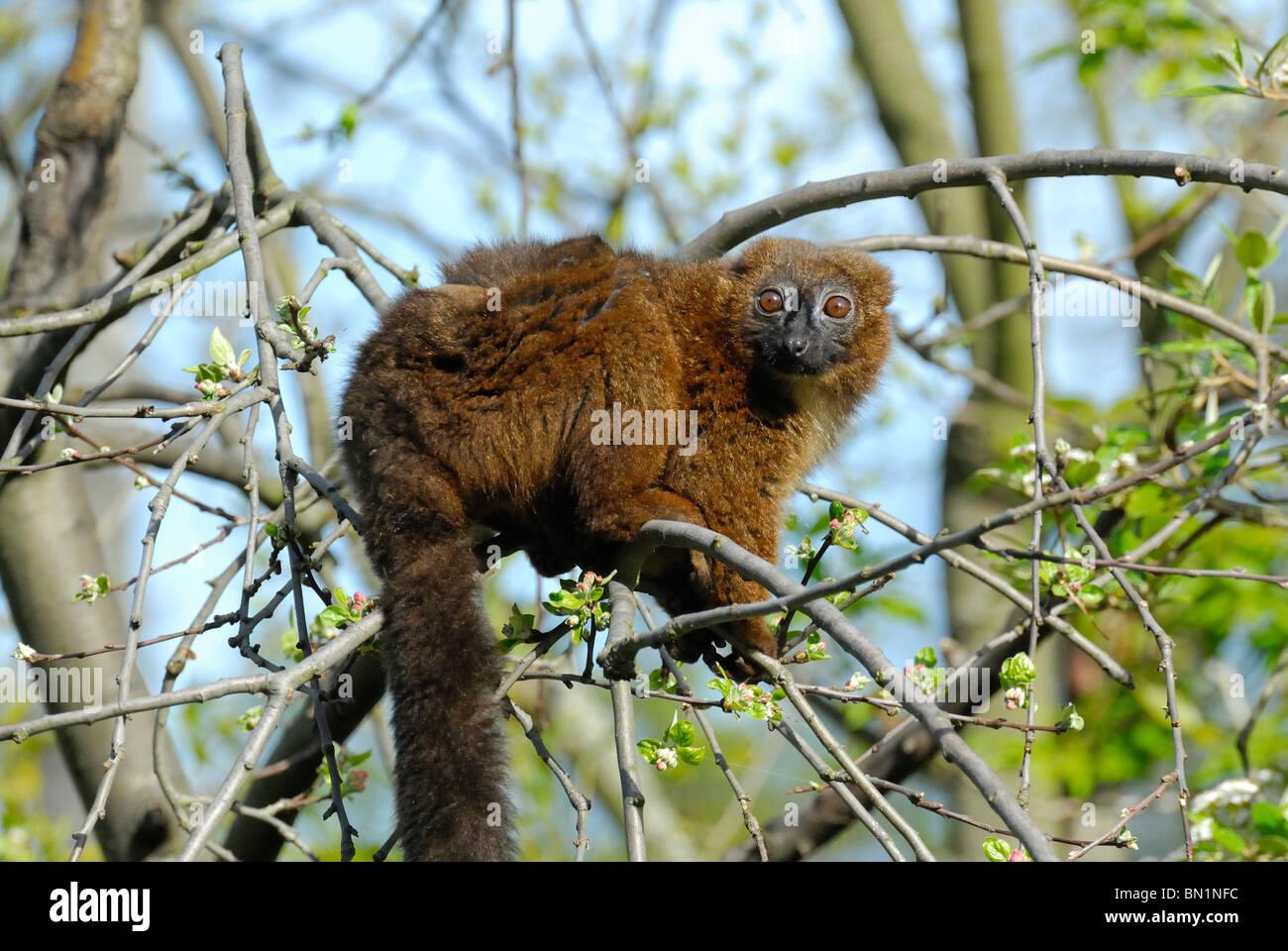 Lemur - Stock Image