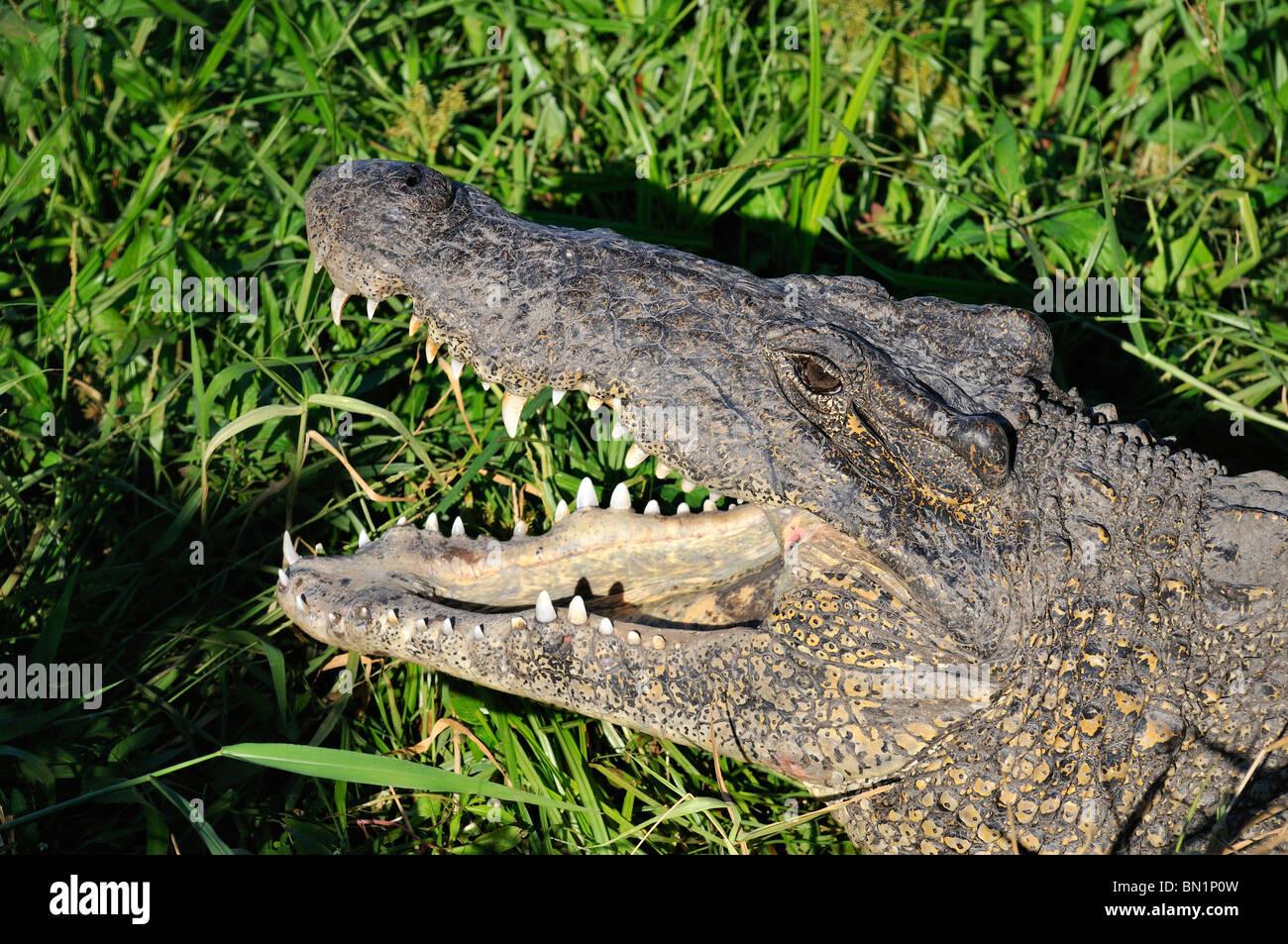 Crocodylus rhombifer, Cuban Crocodile Stock Photo