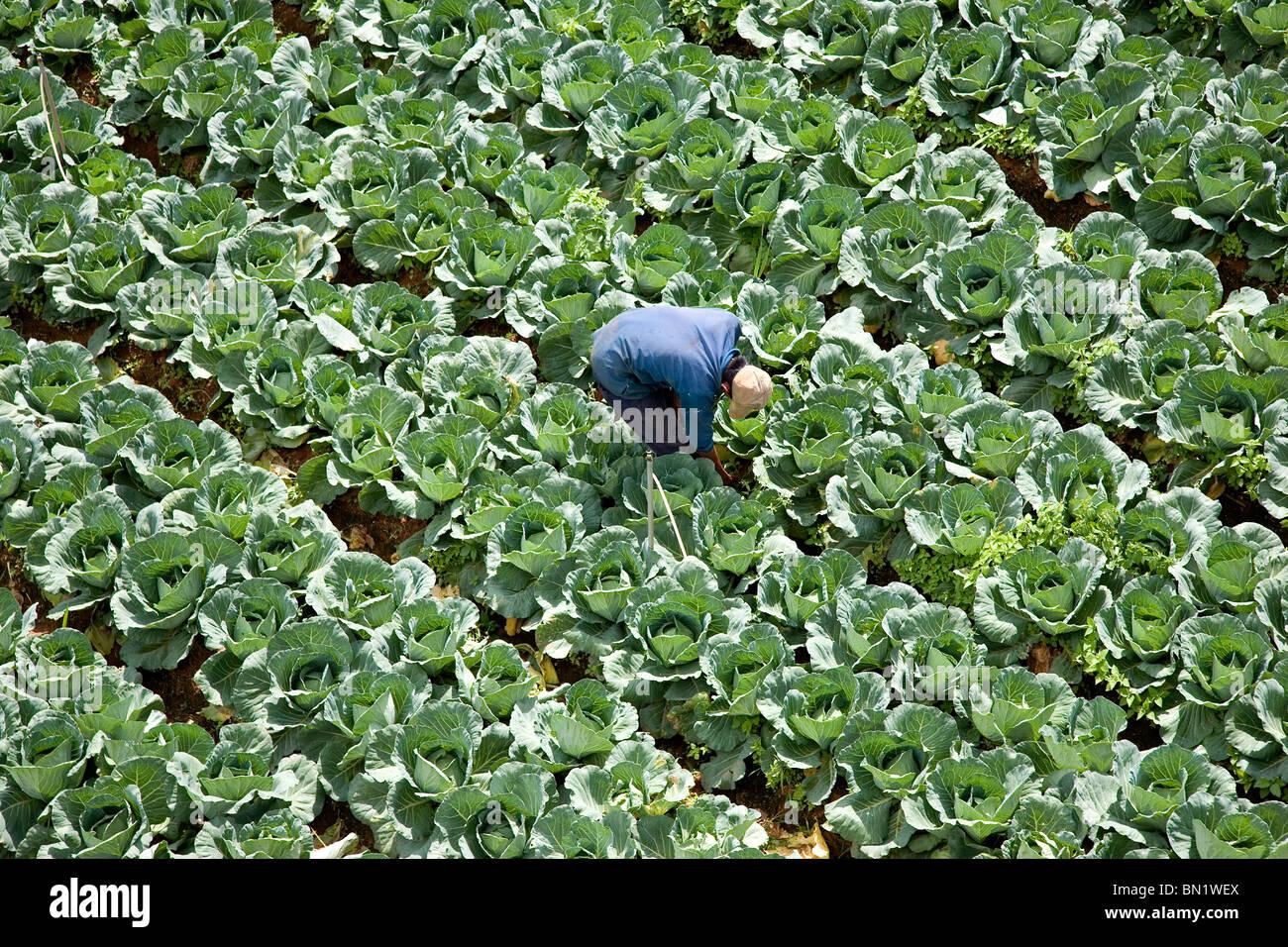 Vietnamese man farming cabbages in Dalat. Stock Photo
