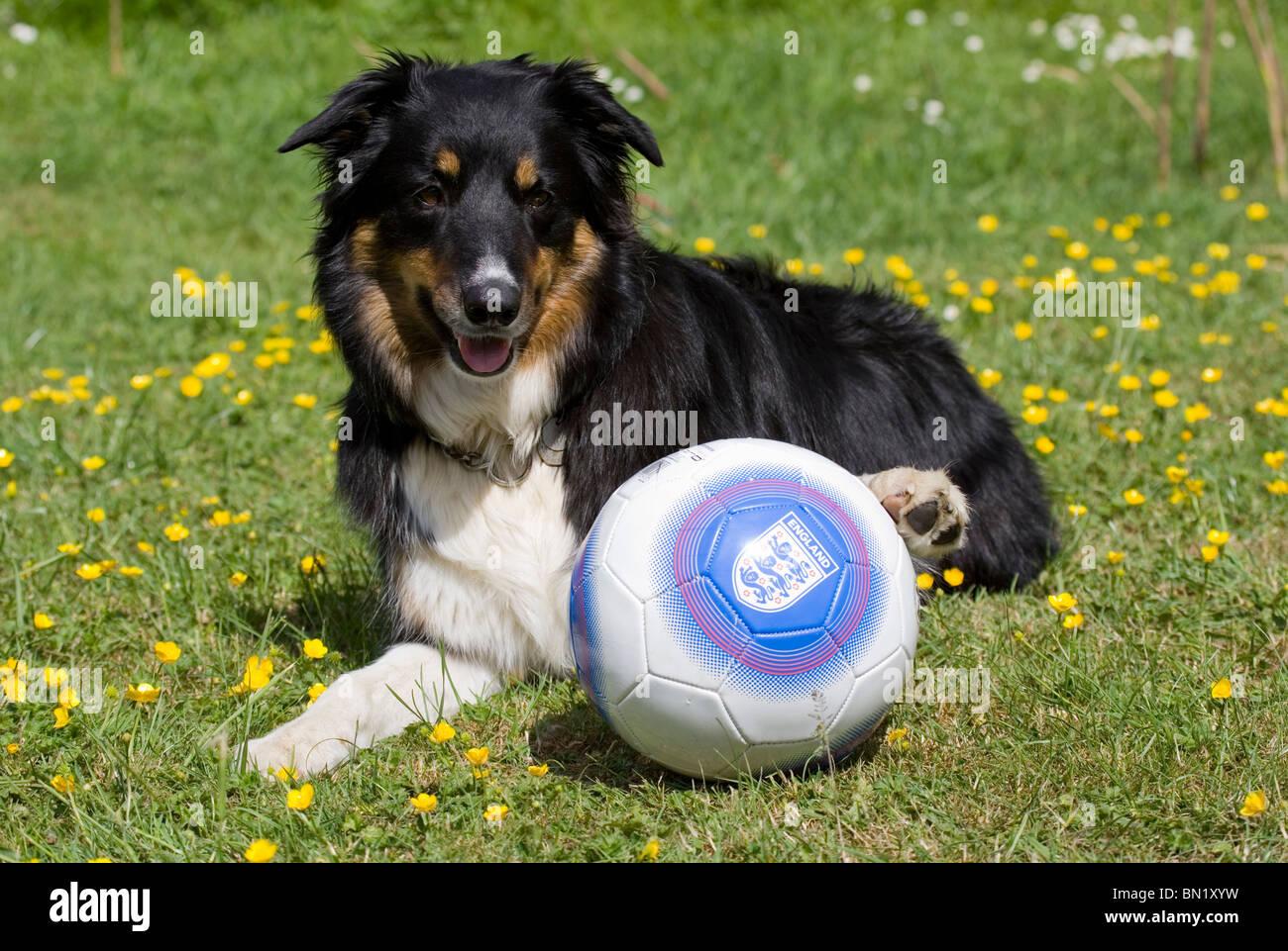 Border Collie Single Adult Male laying with England football Portesham, Dorset, UK - Stock Image