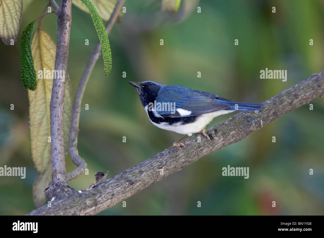 Adult male Black-throated Blue Warbler perched on a branch of Leatherleaf Virburnum - Stock Image
