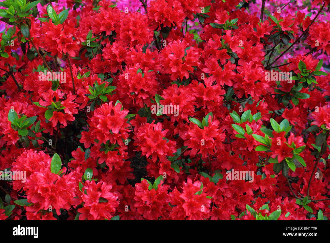 Red rhododendron blossom - Stock Image