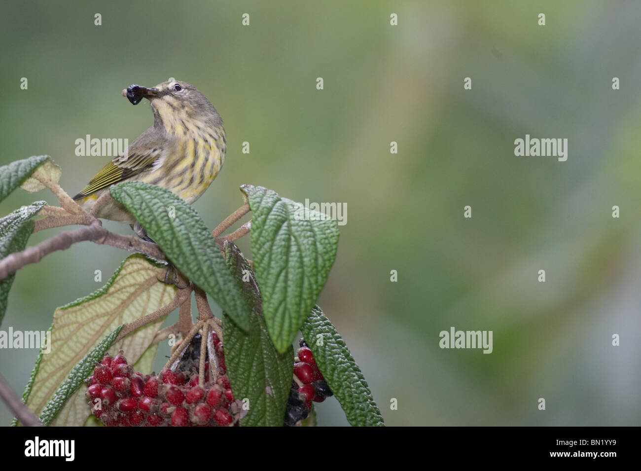 Cape May Warbler in non-breeding plumage eating a Leatherleaf Virburnum berry - Stock Image