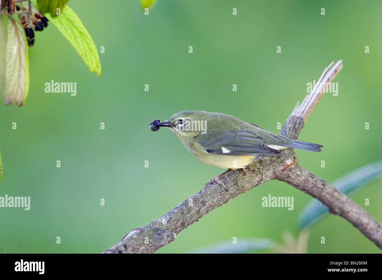 Female Black-throated Blue Warbler perched on a branch eating a Leatherleaf Virburnum berry - Stock Image