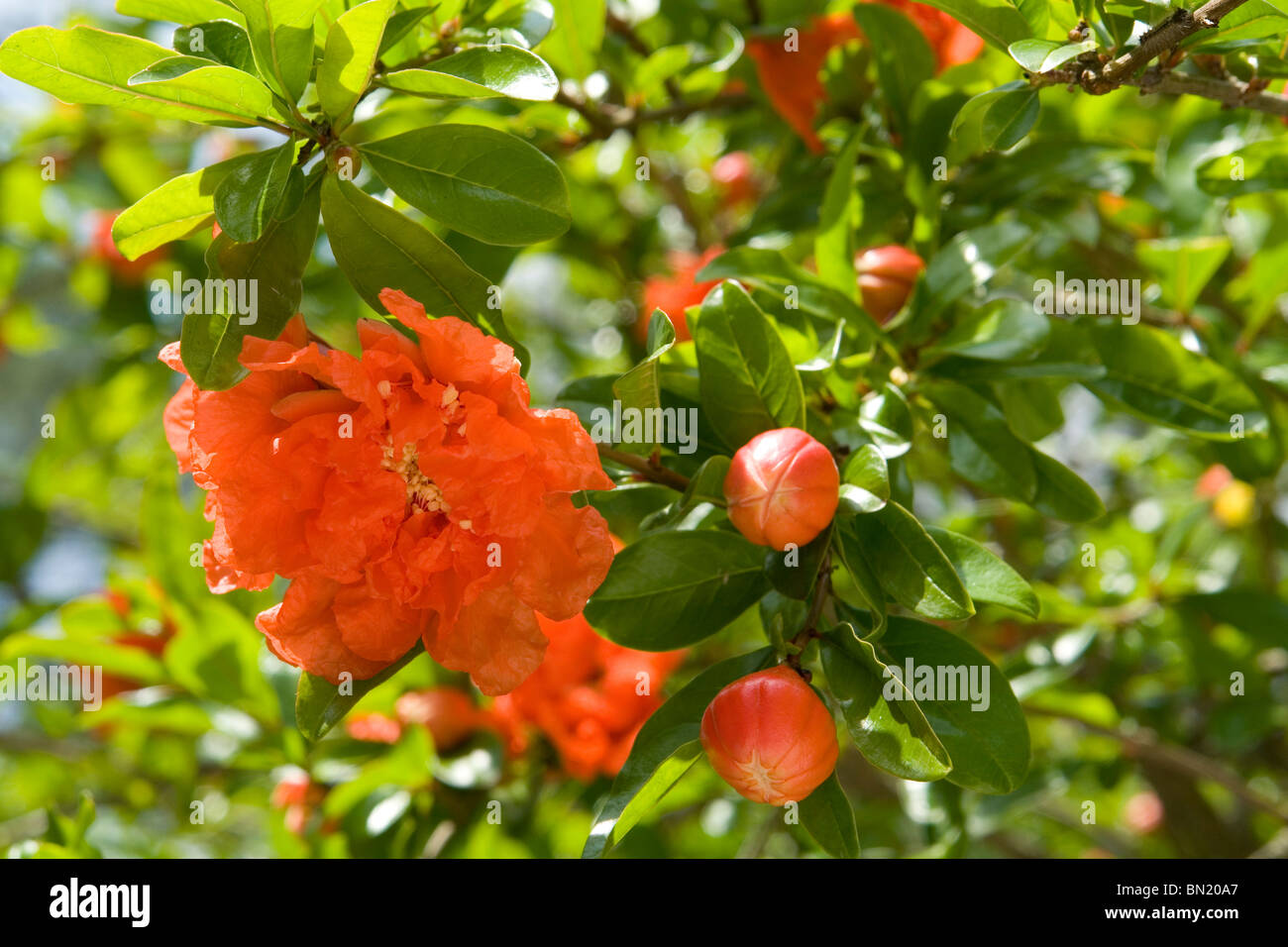 Flowers and buds of a Pomegranate tree (Punica granatum). Boutons et fleurs de Grenadier (Punica granatum). - Stock Image