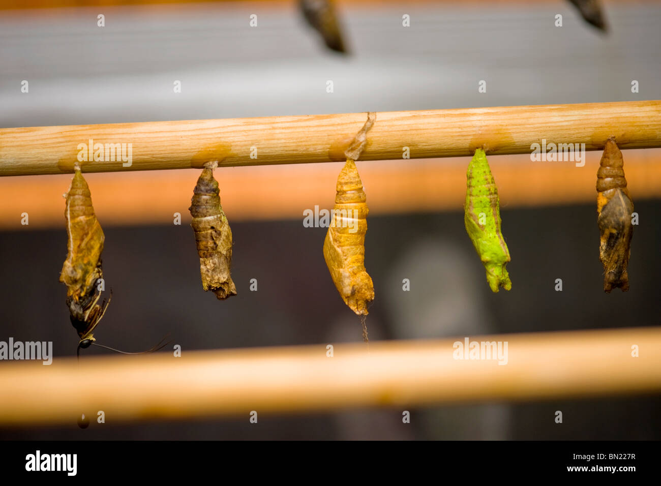 Golders Hill Park , butterfly pupa or pupae not yet ready to hatch or emerge or metamorphose - Stock Image