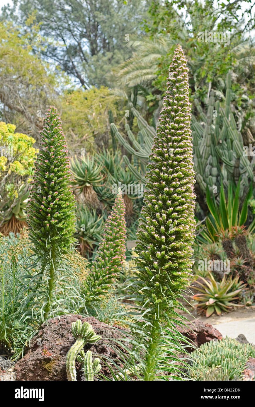 The Tower of Jewels plant, Echium wildpretii is an herbaceous biennial plant that is endemic to the Canary Islands. - Stock Image