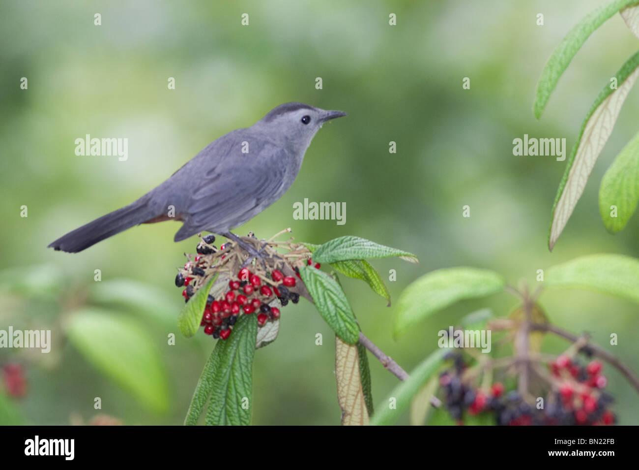 Gray Catbird perched on Leatherleaf Virburnum - Stock Image