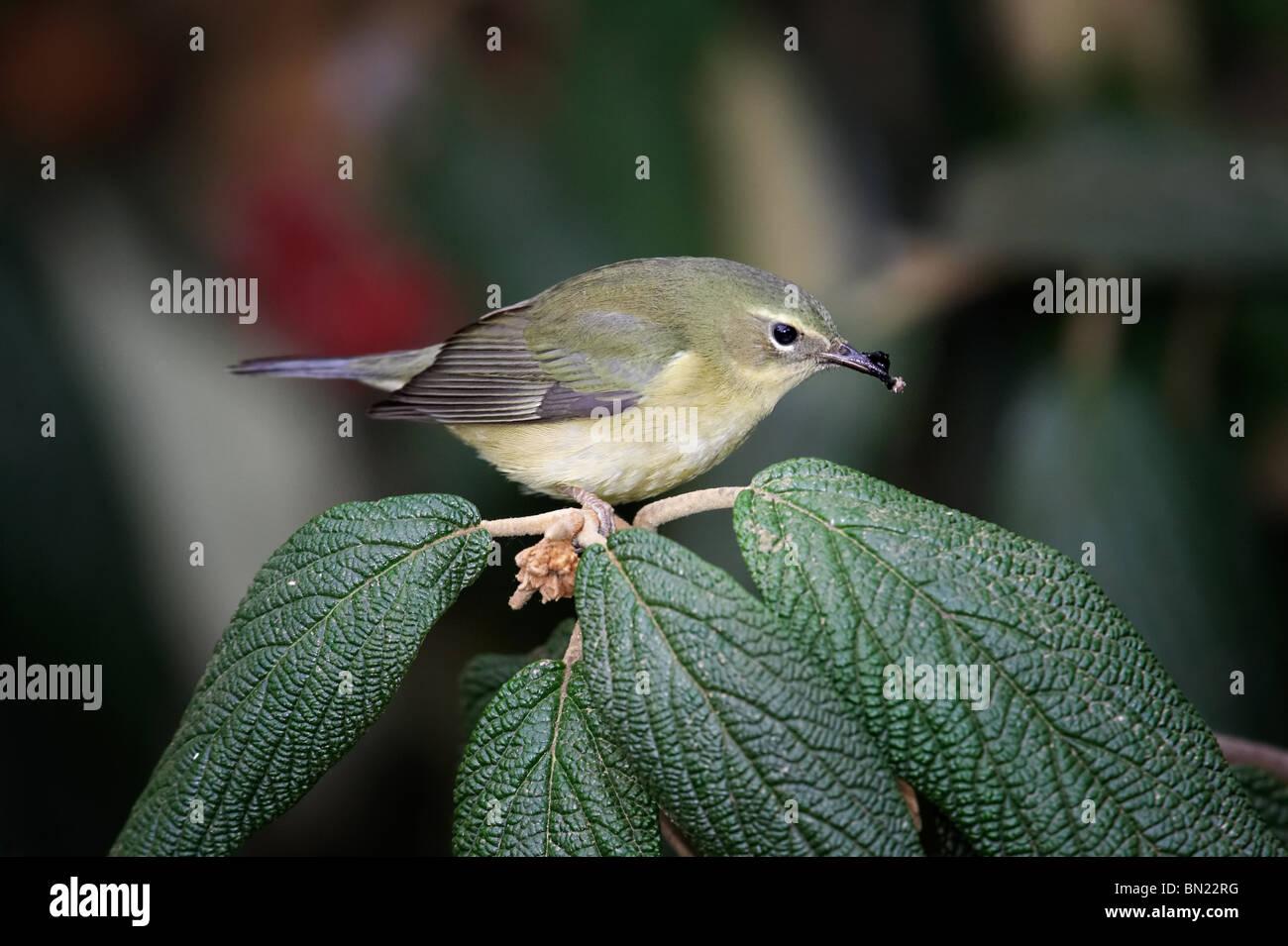 Female Black-throated Blue Warbler feeding on Leatherleaf Viburnum berries - Stock Image