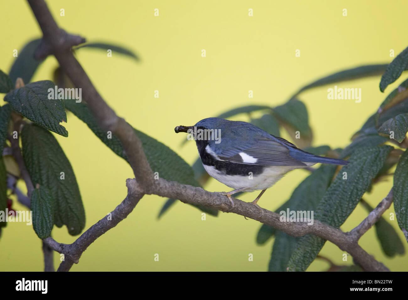 Adult male Black-throated Blue Warbler feeding on Leatherleaf Viburnum berries - Stock Image