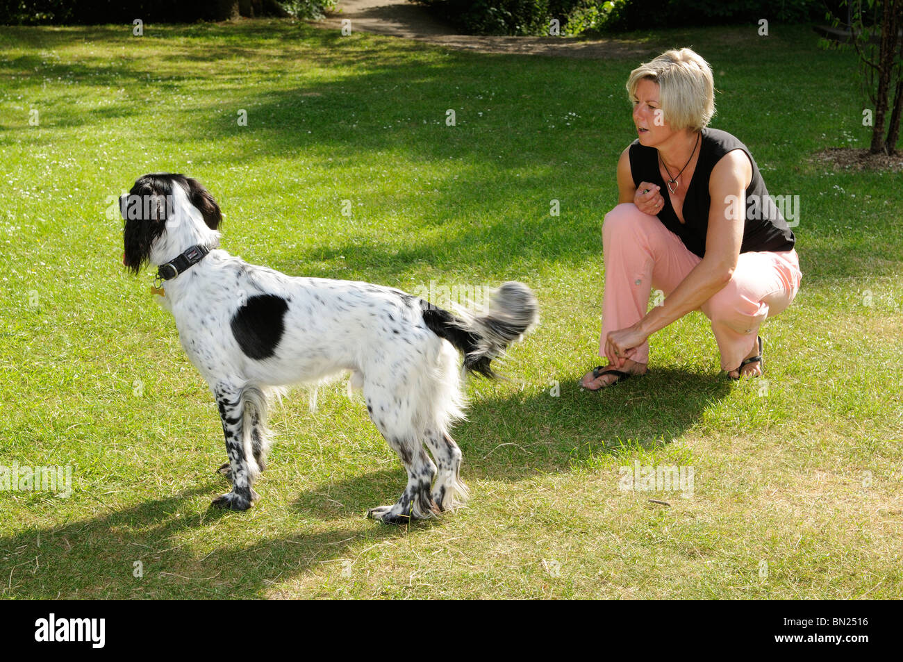 Woman training with a Springer Spaniel dog - Stock Image