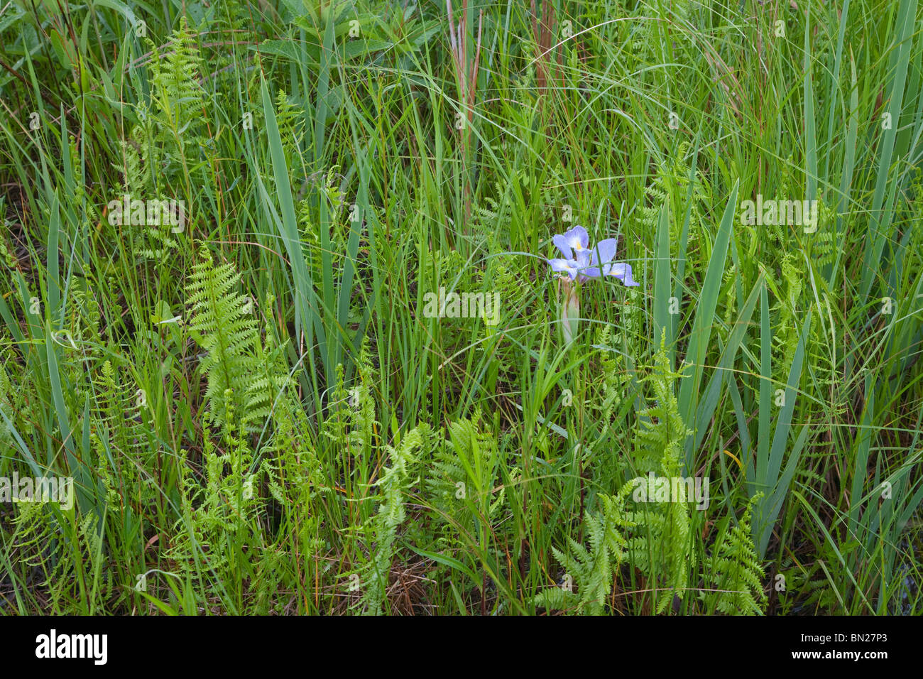 blue flag iris, Chiwaukee Prairie State Natural Area, Wisconsin - Stock Image