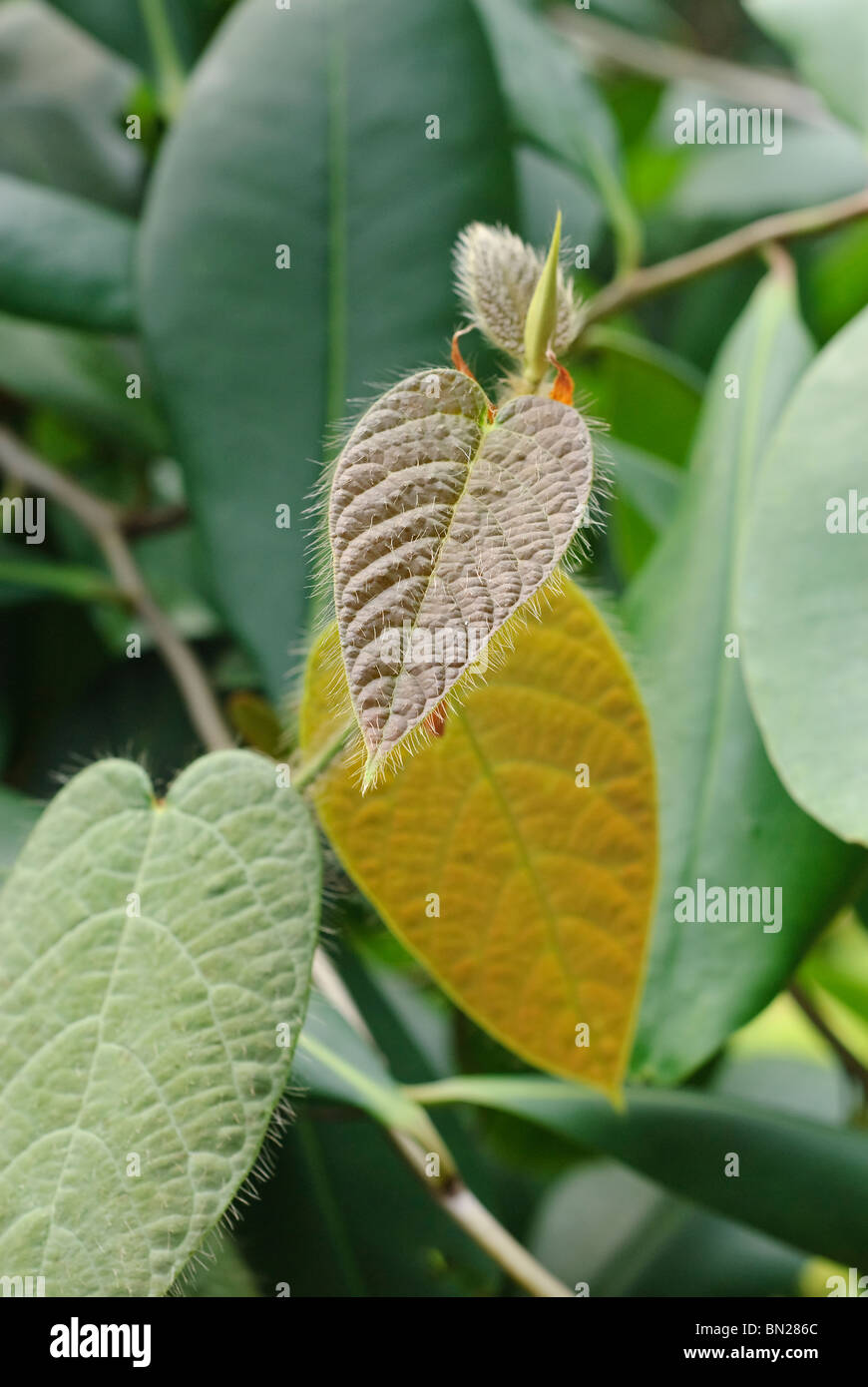 Ficus villosa, of the Fig family is a creeping vine that has stiff hairs on it's leaves to prevent animals from - Stock Image