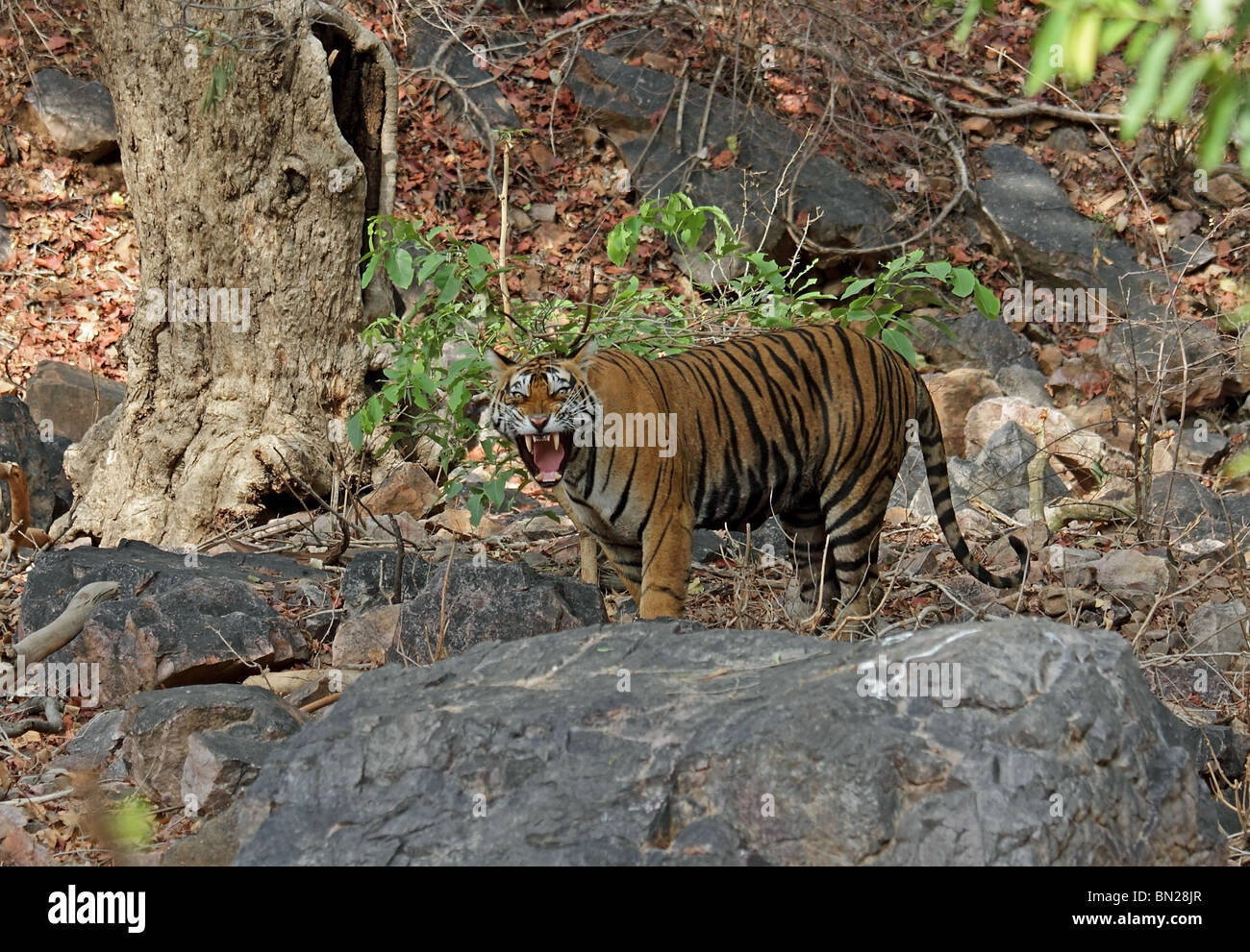 Tiger snarling with anger in Ranthambhore National Park, India - Stock Image