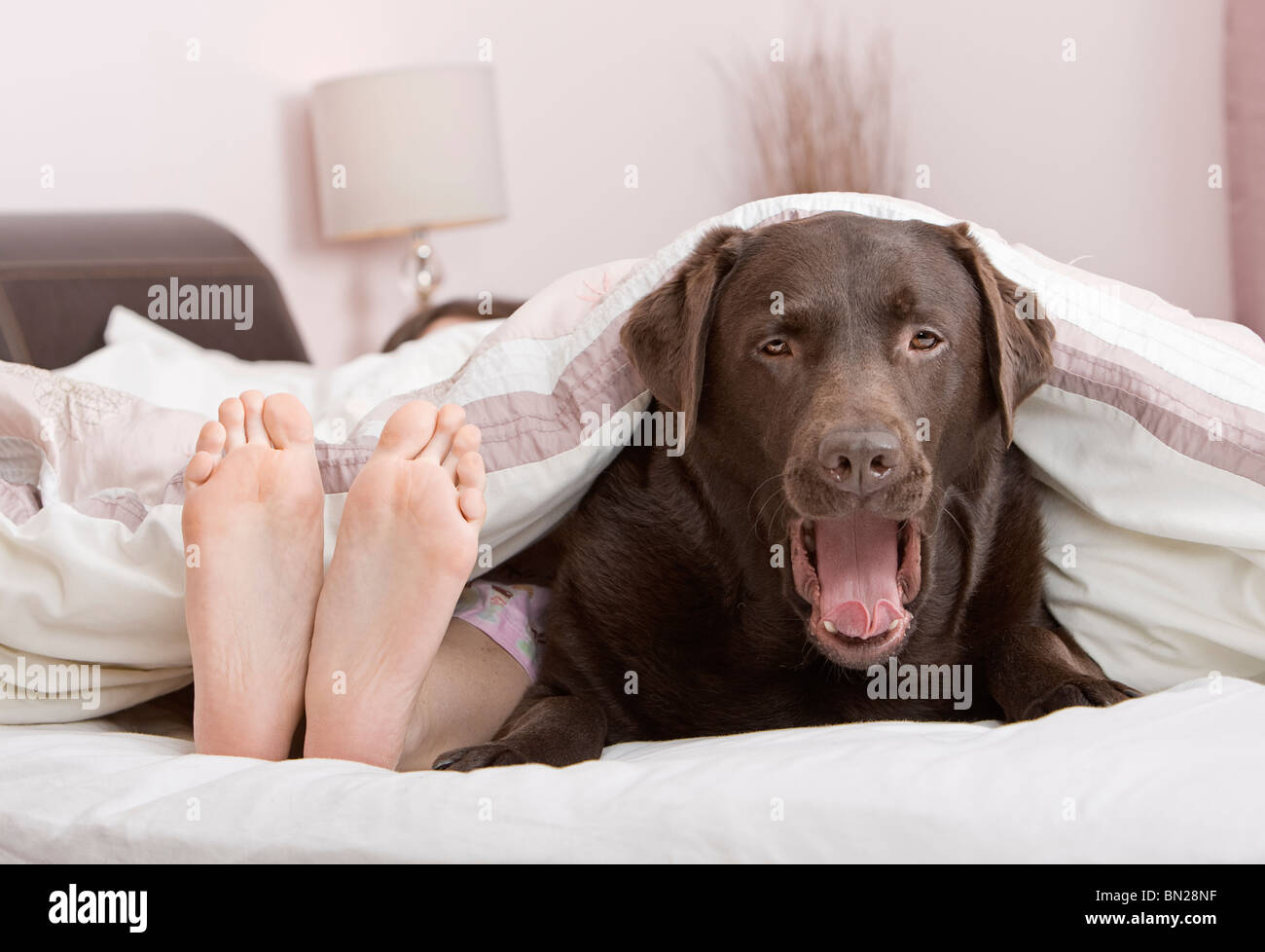 Shot of a Cute Chocolate Labrador Under the Covers at the Owner s Feet End!  - 285ab4e5b3e3