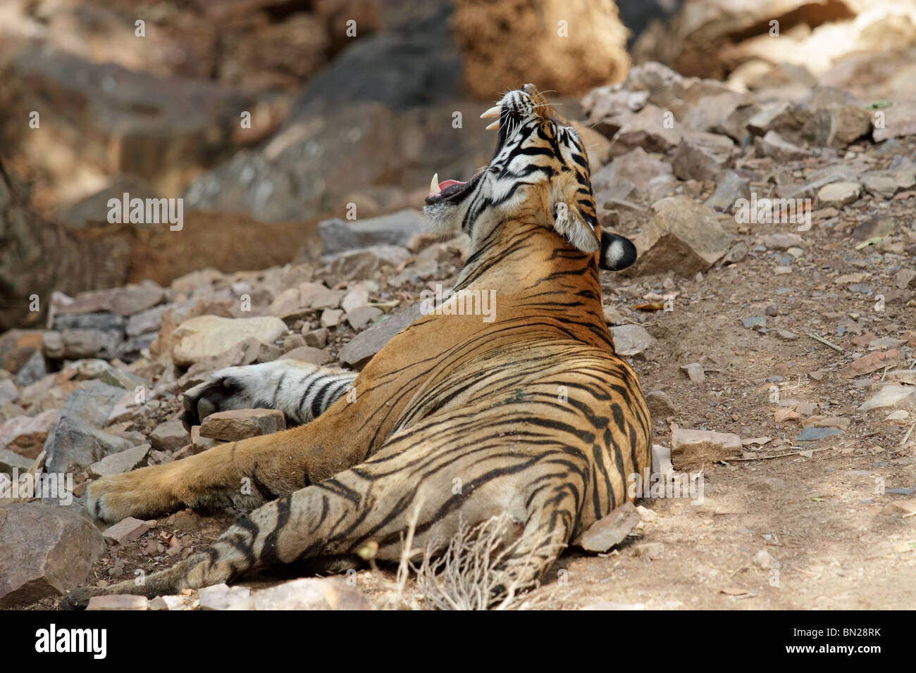 Tiger yawns wide and shows its canines in Ranthambhore National Park, India - Stock Image