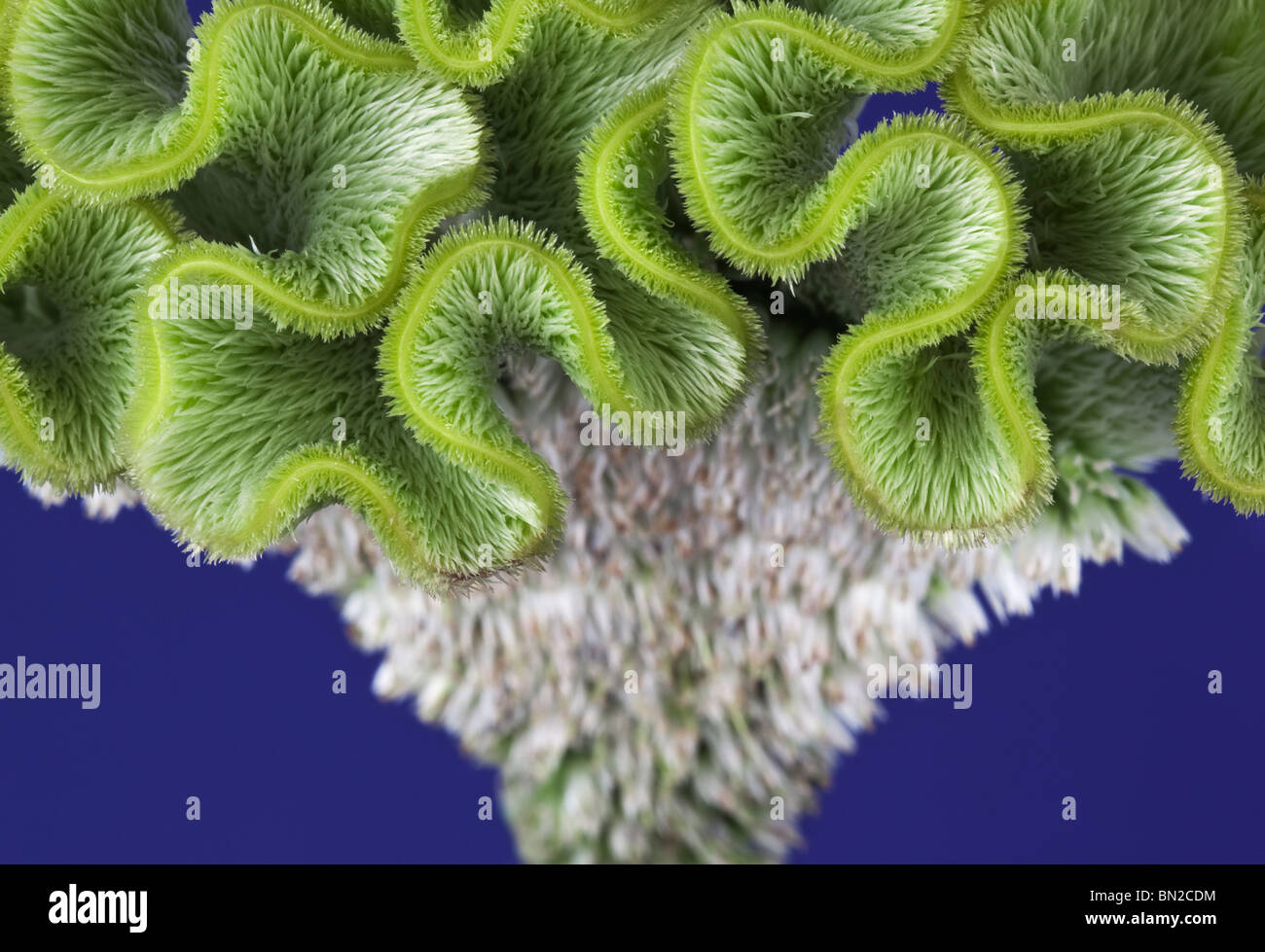 Close up of a green Celosia Stock Photo