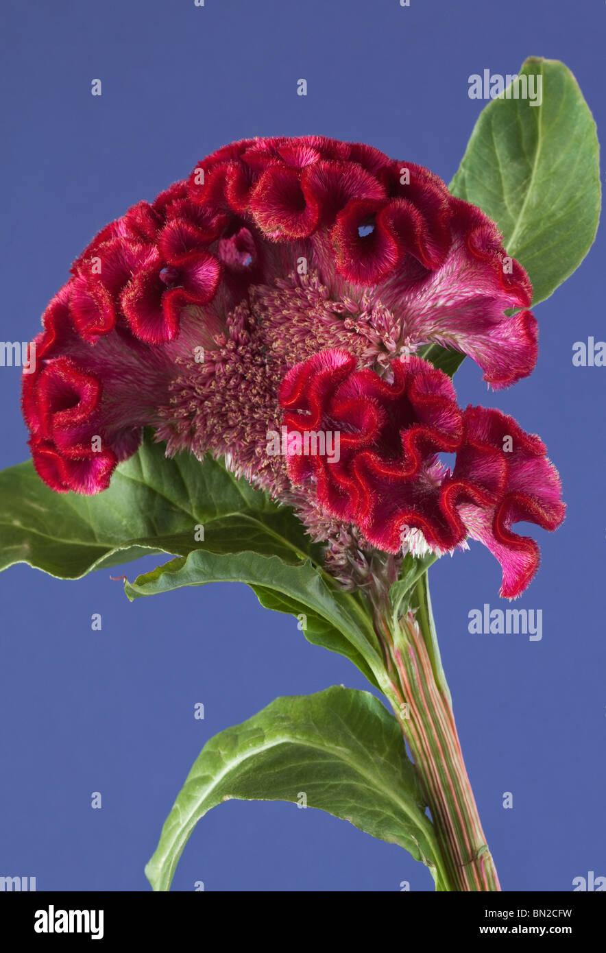 Red Celosia Cockscomb - Stock Image