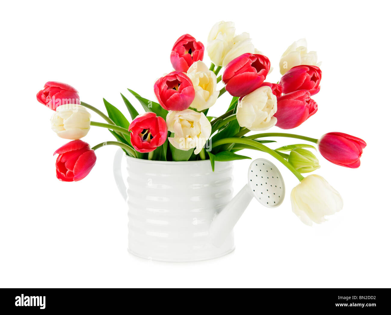 Bouquet of red and white tulips isolated on white background - Stock Image
