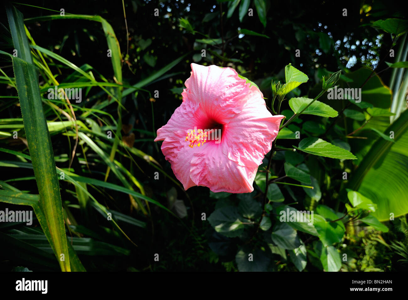 A pink Hibiscus flower Stock Photo