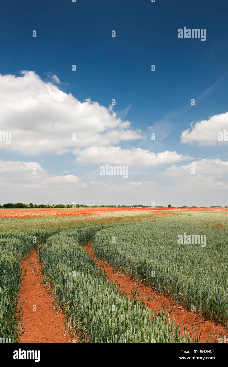 Tractor tracks through a field of wheat and poppies in the English countryside - Stock Image