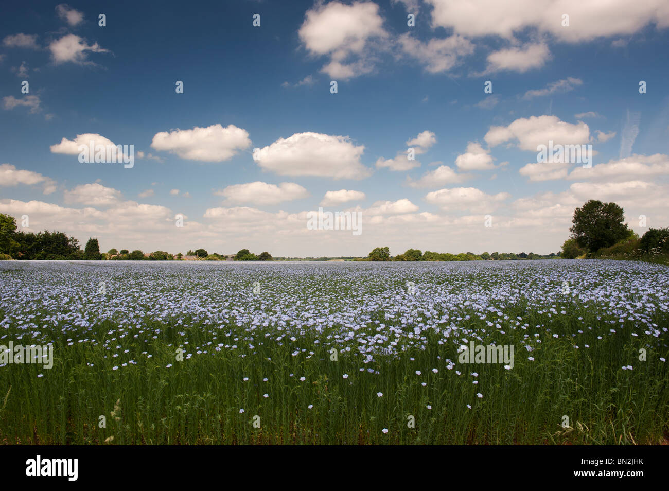 Linum usitatissimum. Linseed crop flowering in a field in the English countryside - Stock Image