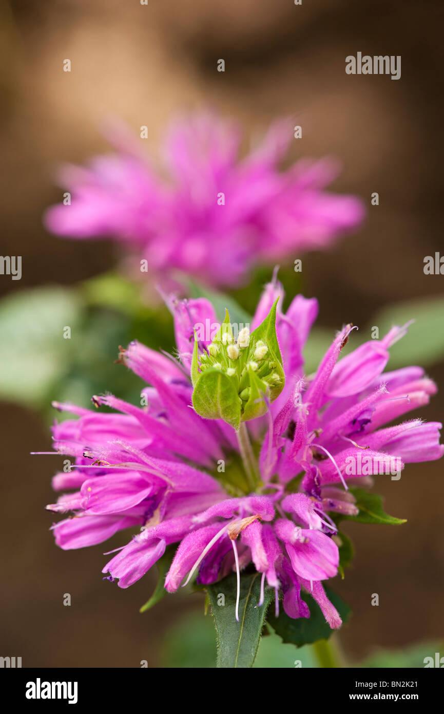 MACRO SHOT OF BEE BALM - Stock Image