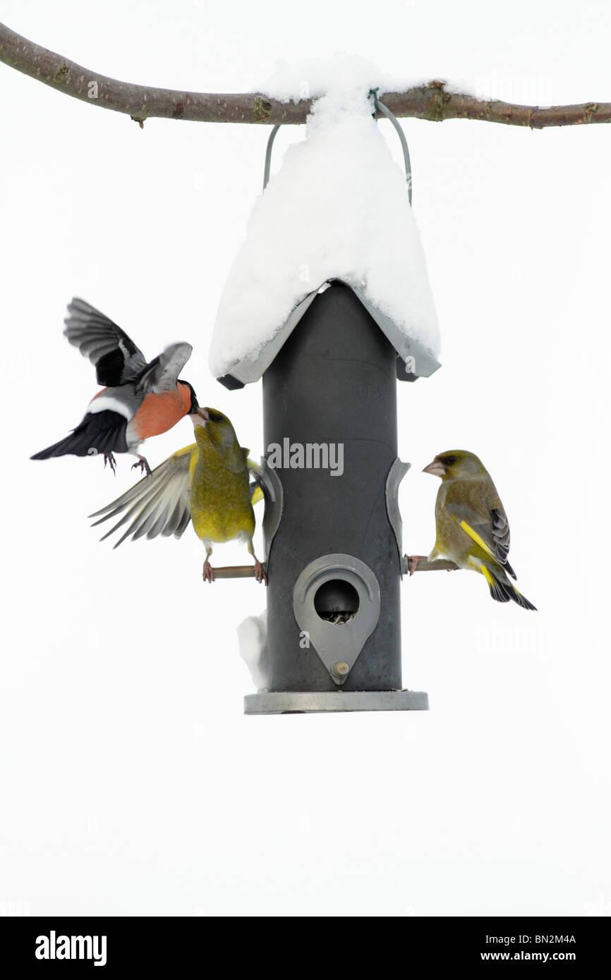 two Greenfinch (Carduelis carduelis) and single male Bullfinch (Pyrrhula pyrrhula) fighting at  feeding station - Stock Image