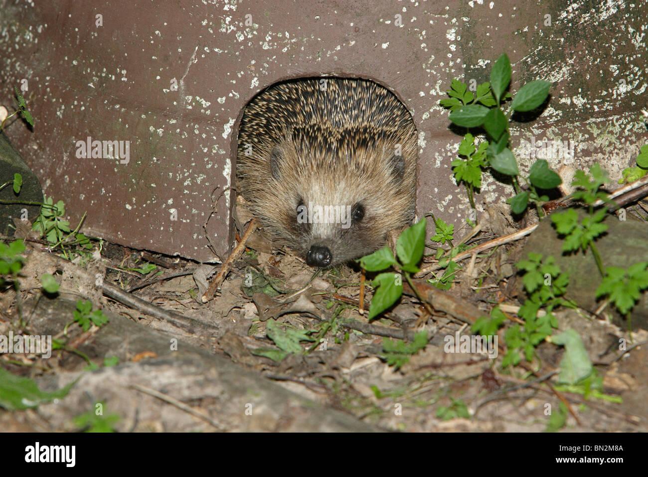 European Hedgehog (Erinaceus europaeus), peering out of artificial shelter, in garden - Stock Image