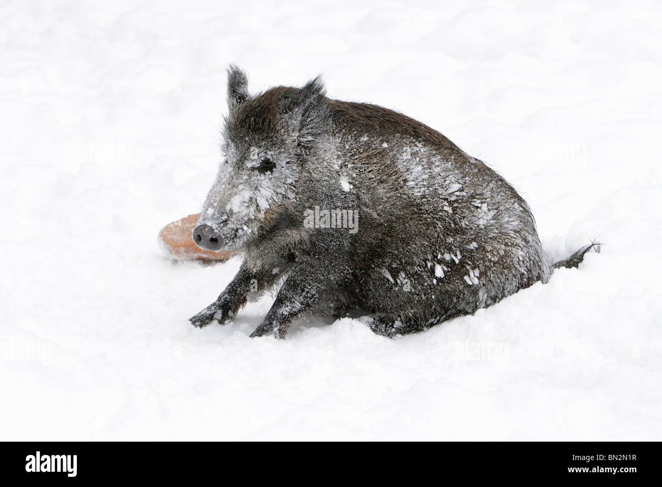 European Wild Pig or Boar (Sus scrofa), sow sitting, covered in snow, after having rolled in snow, Germany - Stock Image