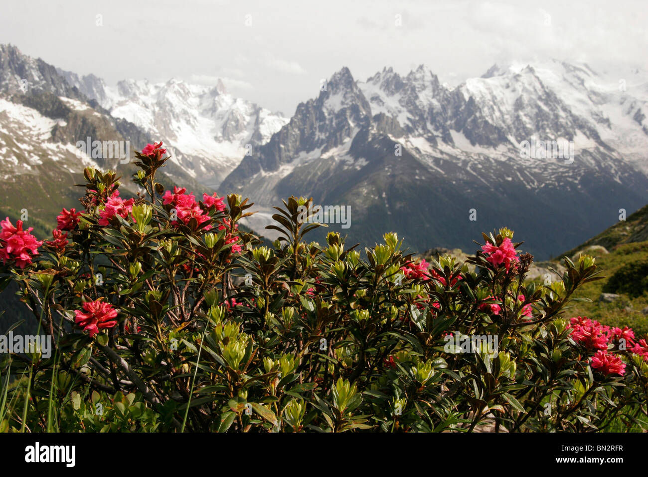 rhododendron in the Mont Blanc Massif in Chamonix-Mont-Blanc, France, Europe - Stock Image