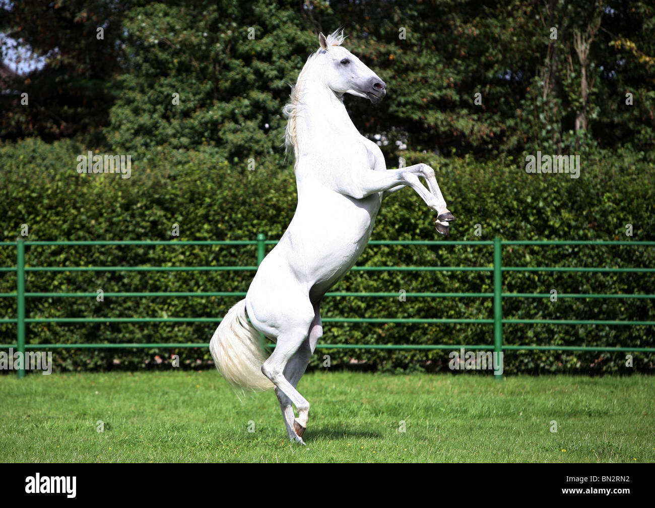 White Horse High Resolution Stock Photography And Images Alamy