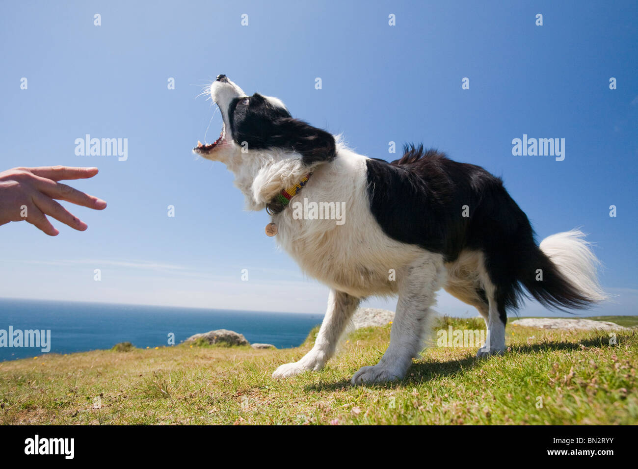 A Border Collie dog waiting for a stick on the Cornish cliff tops near Lands End. - Stock Image