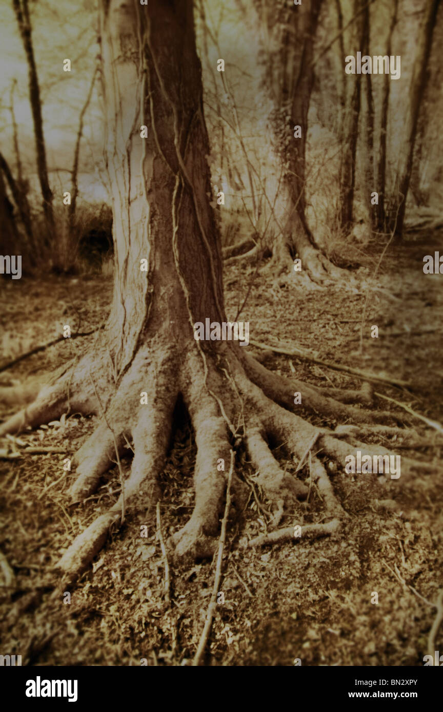 bare tree roots - Stock Image
