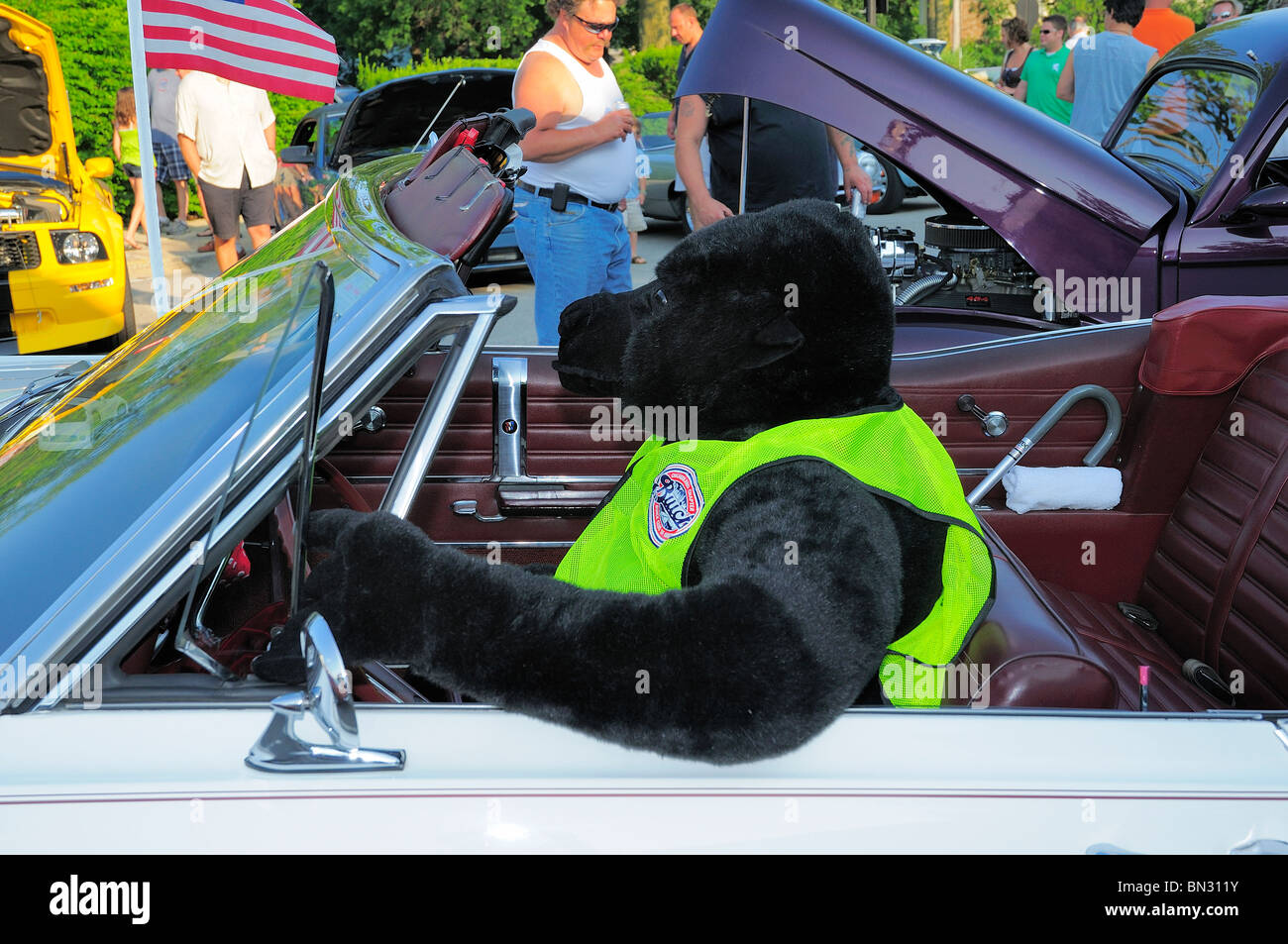 Black bear driving Buick Convertible at Cruise Nights Car Show in small town America. - Stock Image