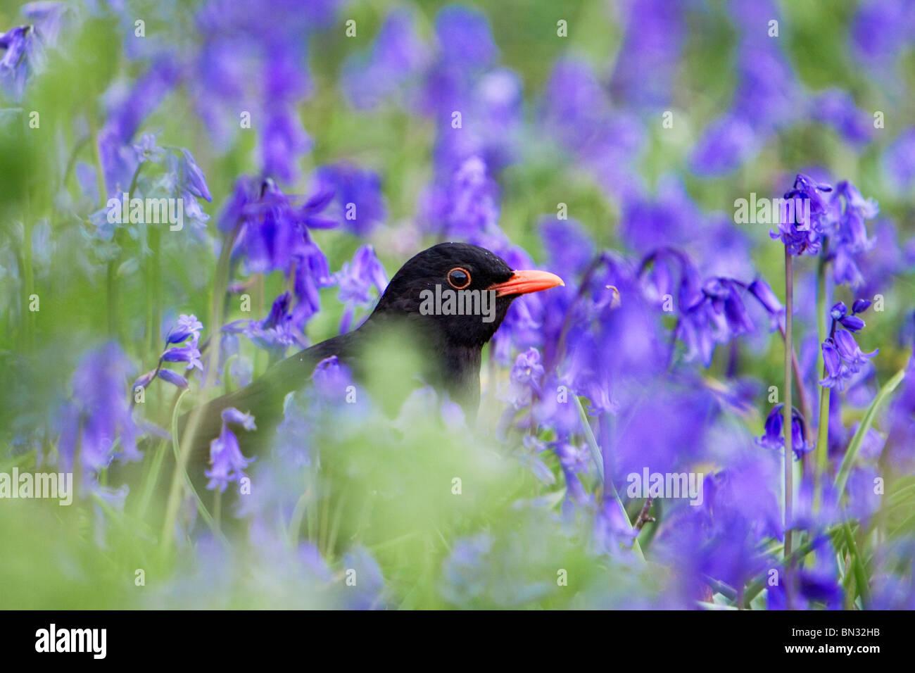 Blackbird; Turdus merula; male; amongst bluebells - Stock Image
