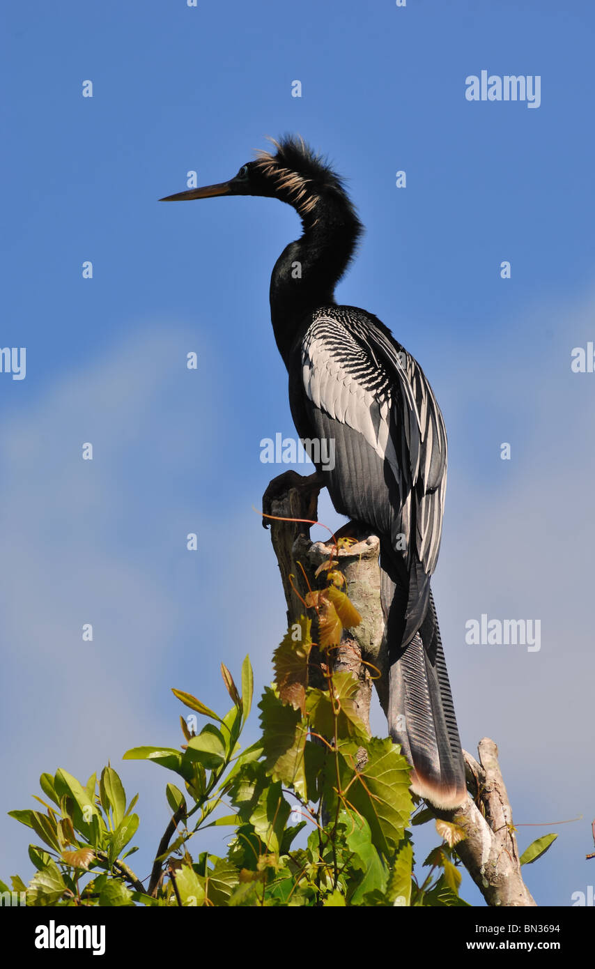 Male Anhinga (Anhinga anhinga) resting on top of a tree in Orlando, Florida. The bird is sometimes known as a Snake - Stock Image