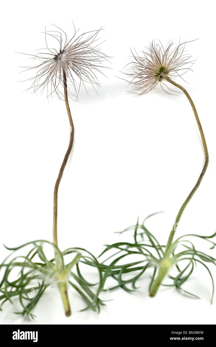 Pulsatilla vulgaris seed heads and flower stems - Stock Image