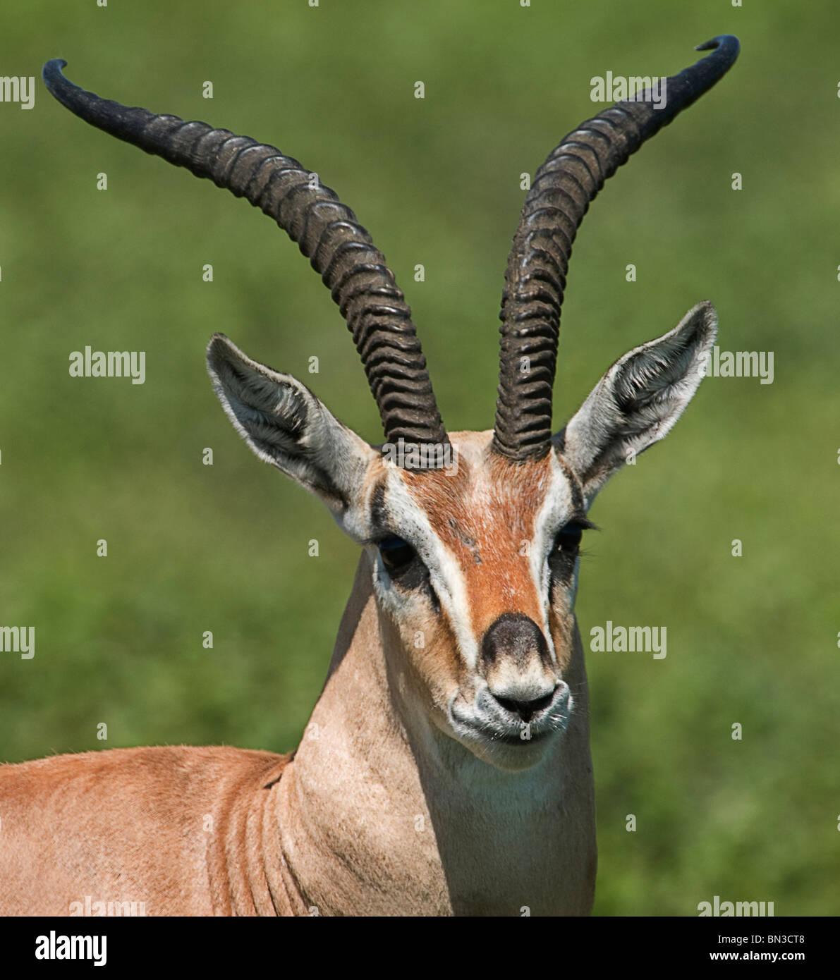 Grant's gazelle, photographed in Serengeti National Park, Tanzania, Africa - Stock Image