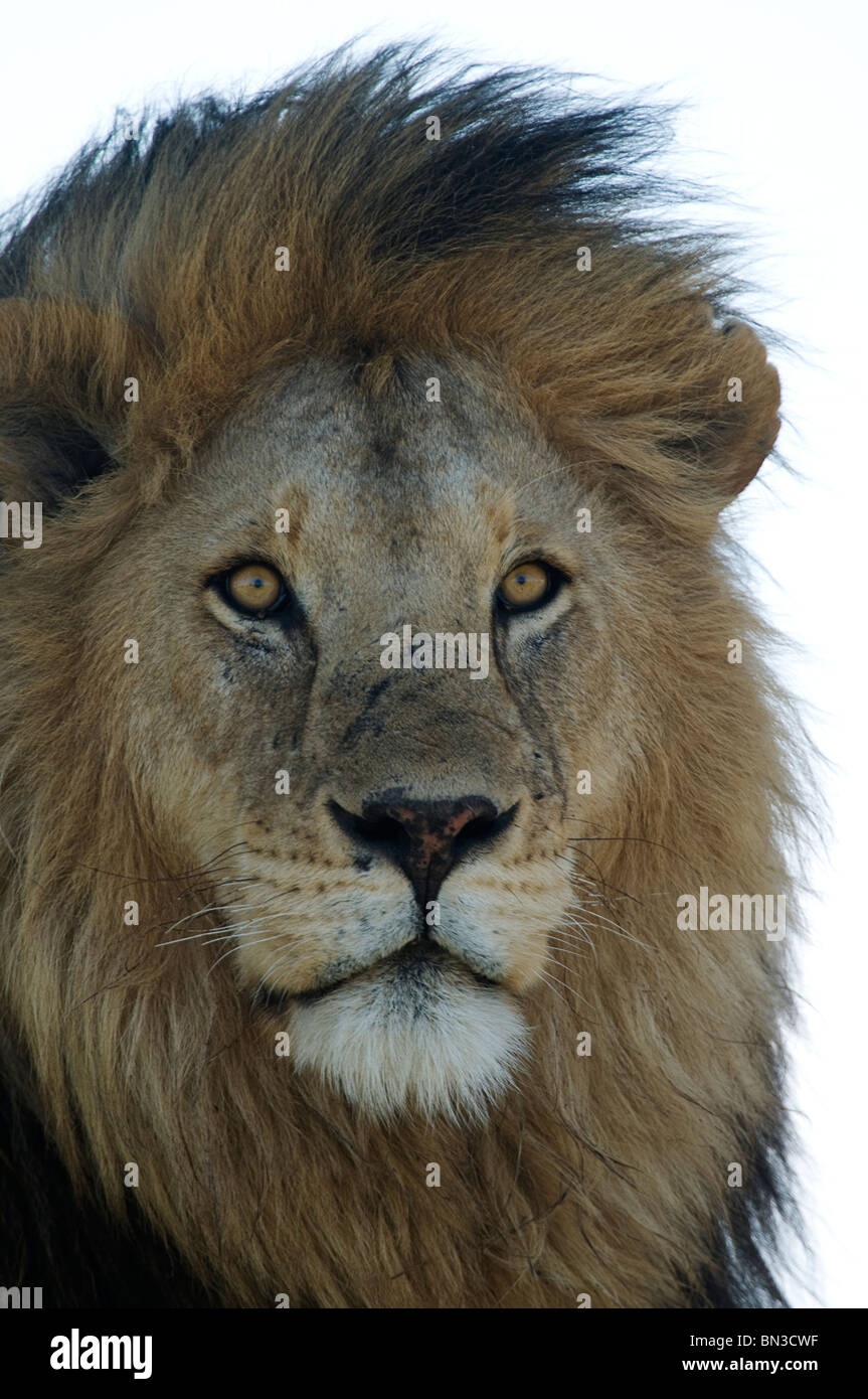 Lion, photographed in Serengeti National Park, Tanzania, Africa - Stock Image