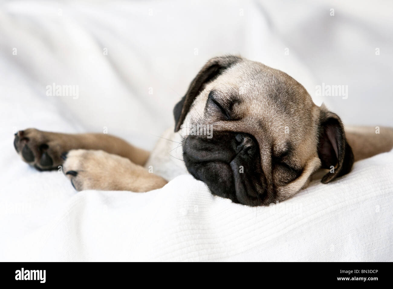 Puppy, Pug, sleeping on pillow - Stock Image