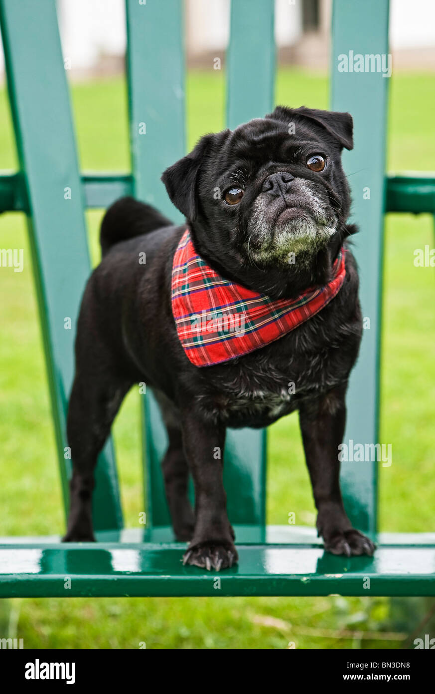 Pug puppy with scarf standing on garden chair, Close-up - Stock Image