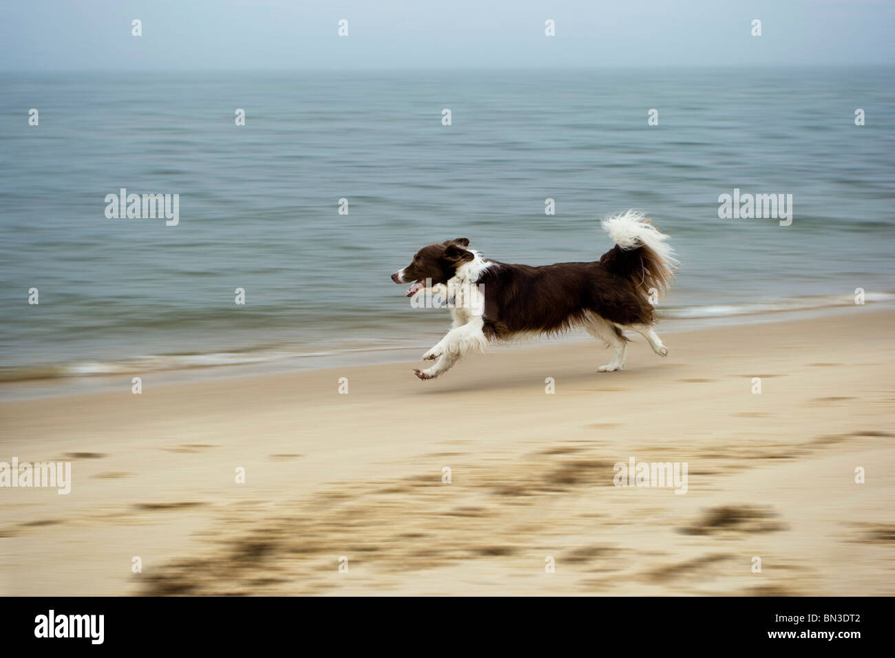 Border Collie running along sandy beach, Sylt, Germany, side view - Stock Image