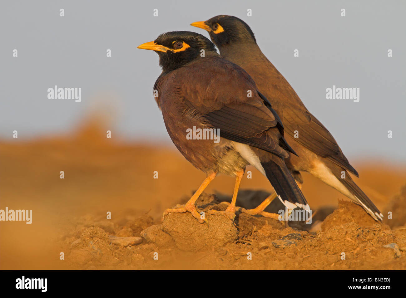 Two Common Mynas (Acridotheres tristis), side view - Stock Image