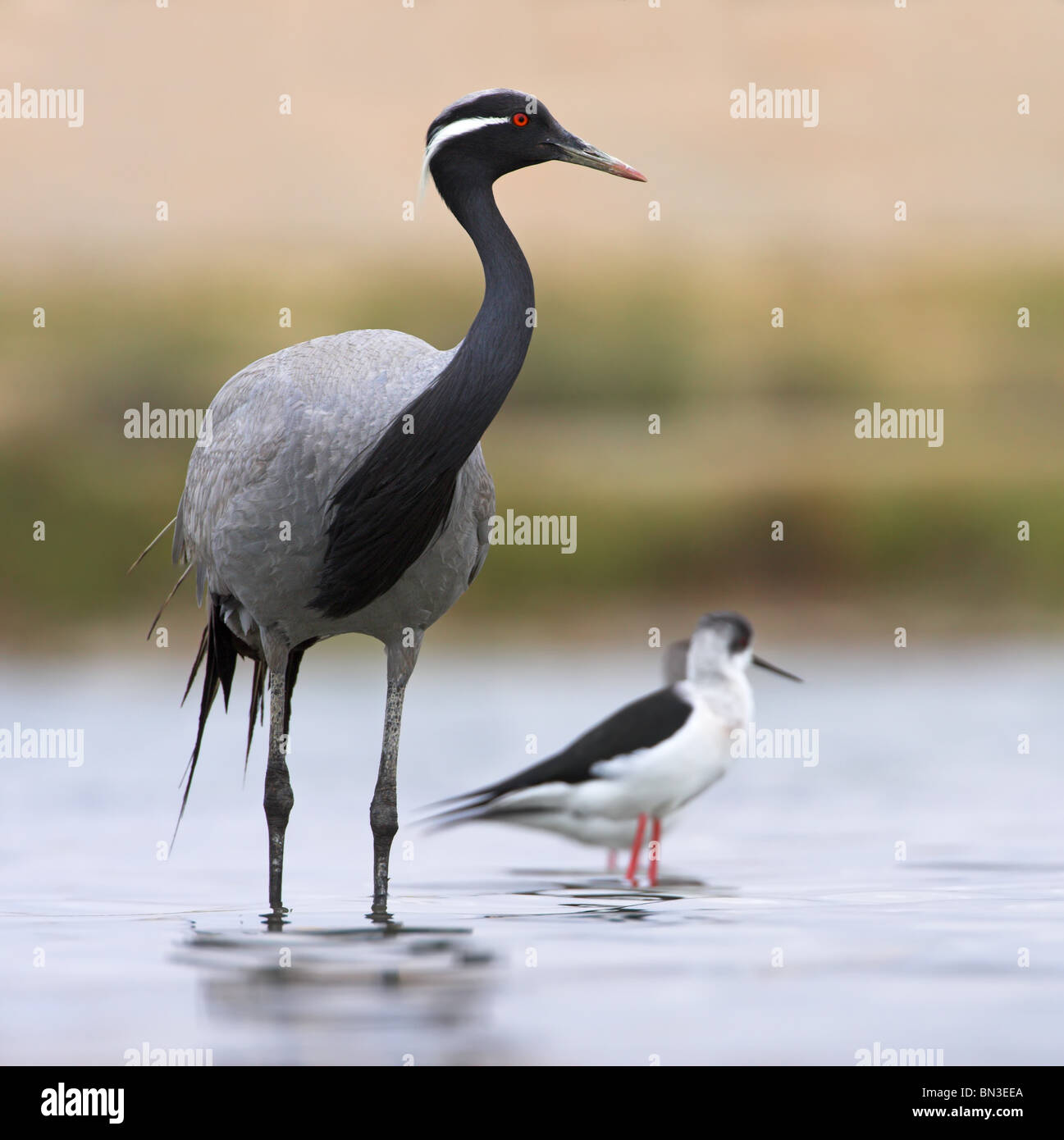 Demoiselle Crane (Anthropoides virgo) and Black-winged Stilts (Himantopus himantopus) standing in shallow water Stock Photo