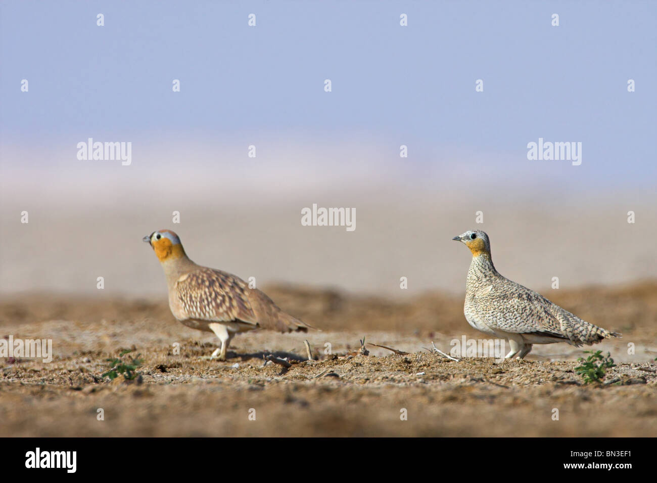 Two Crowned Sandgrouses (Pterocles coronatus), side view Stock Photo