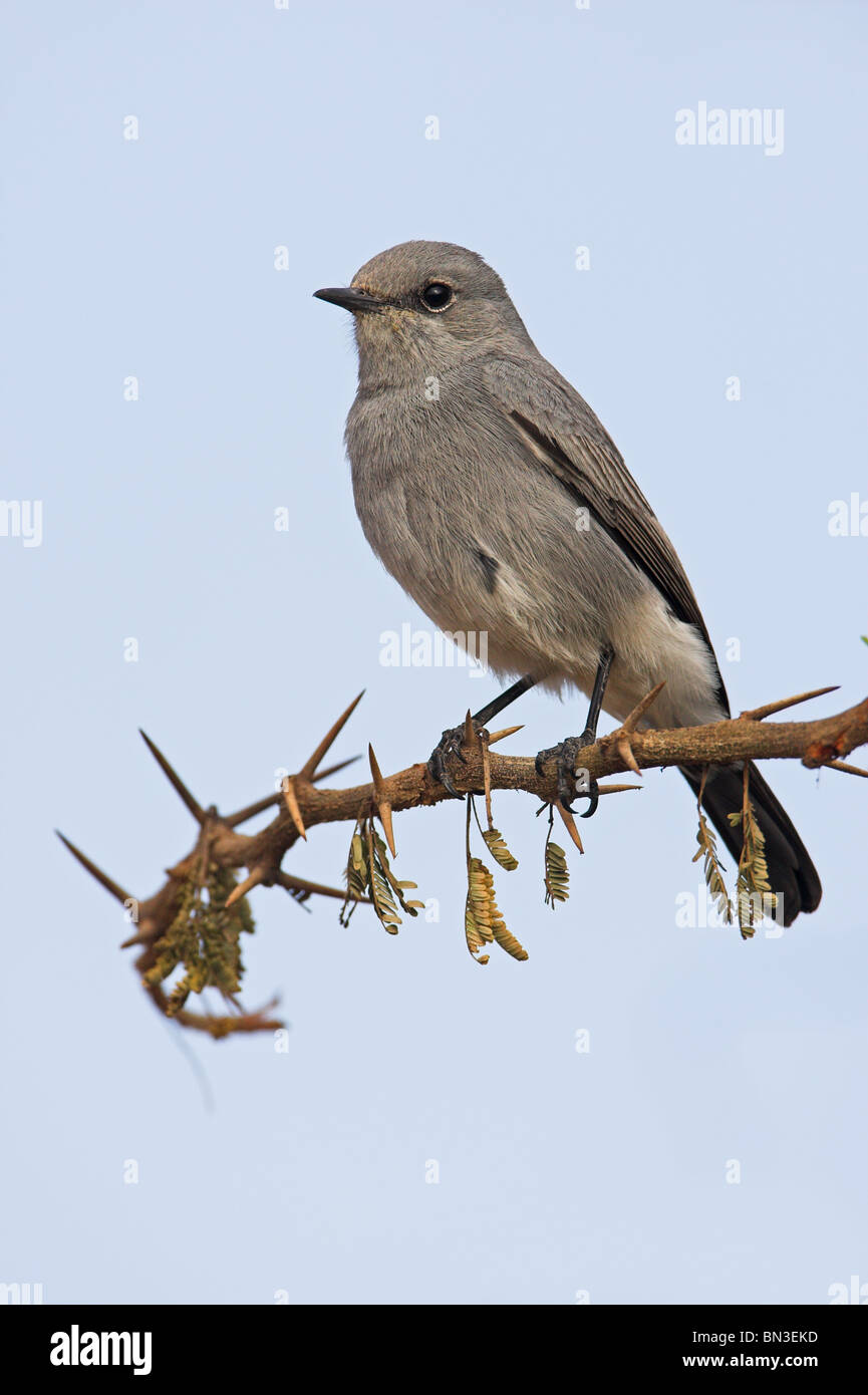 Blackstart (Cercomela melanura) sitting on a twig - Stock Image