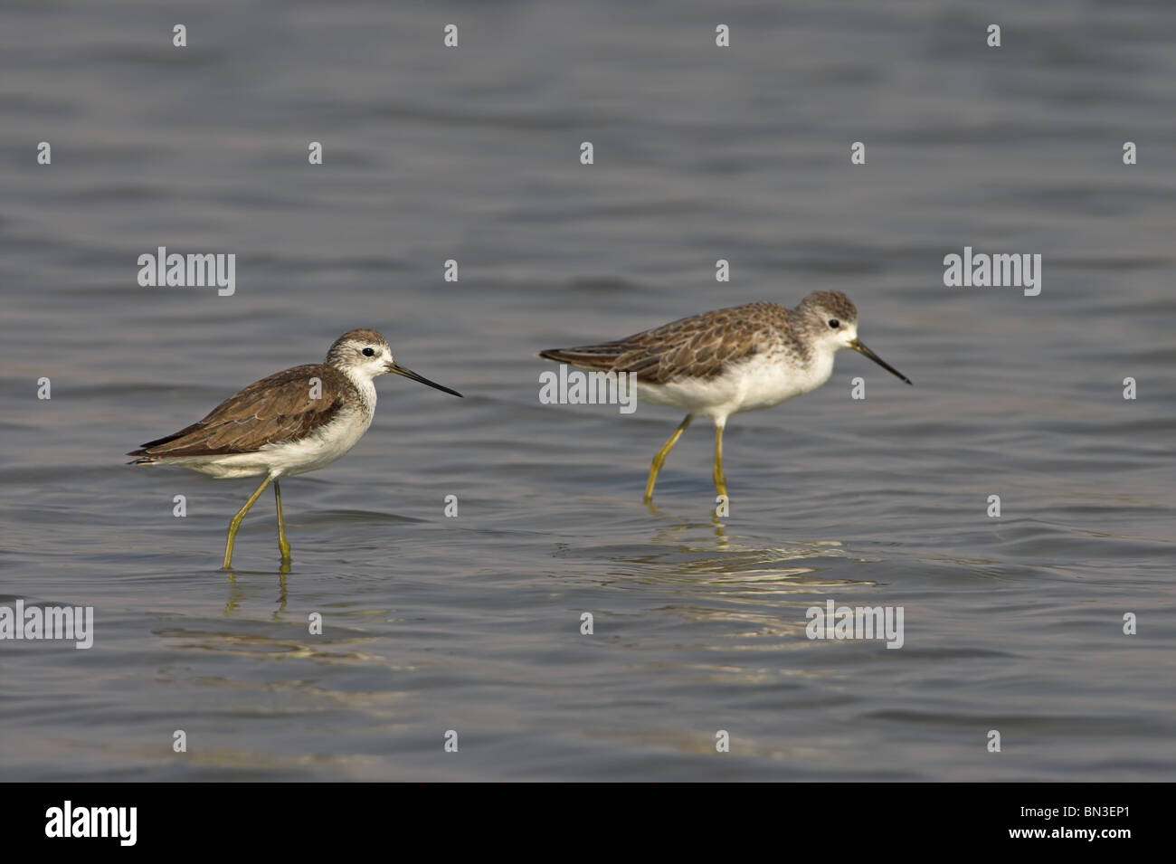Two Marsh Sandpipers (Tringa stagnatilis) walking in the water, side view - Stock Image