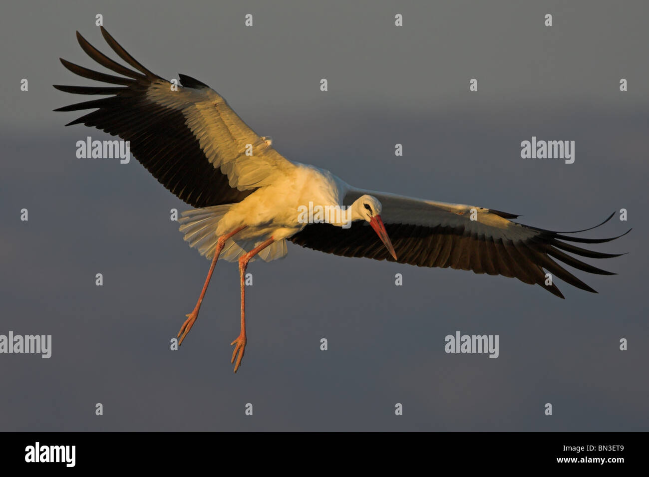 White Stork (Ciconia ciconia) flying - Stock Image